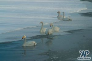 cd1012-d04.jpg - A group of swans