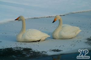 cd1012-d05.jpg - Two swans