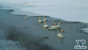 cd1012-d06.jpg - A group of swans