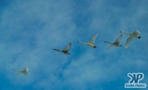 cd1012-d07.jpg - Group of swans