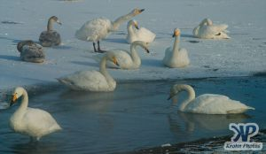 cd1012-d08.jpg - A group of swans