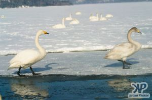 cd1012-d11.jpg - Two swans