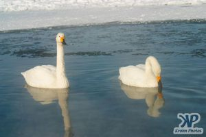 cd1012-d12.jpg - Two Swans
