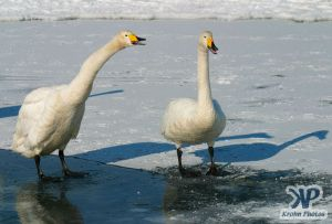 cd1012-d17.jpg - Two swans