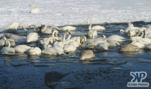 cd1012-d18.jpg - Lots of swans