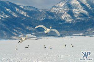 cd1012-d19.jpg - Swans