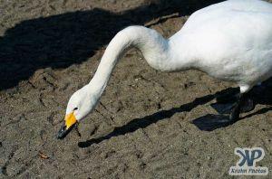 cd1012-d20.jpg - Swans