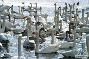 cd1013-d01.jpg - Flock of Swans