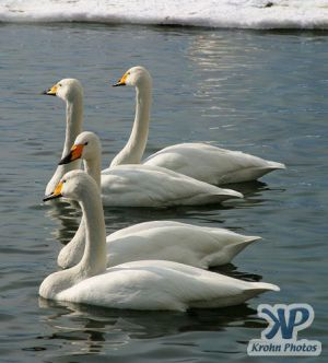 cd1013-d03.jpg - Two pairs of swans