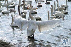 cd1013-d04.jpg - A swan