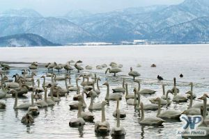 cd1013-d05.jpg - Swans