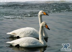cd1013-d12.jpg - A pair of swans