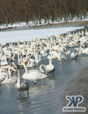cd1013-d13.jpg - Lots of swans