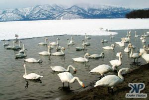 cd1013-d14.jpg - Swans
