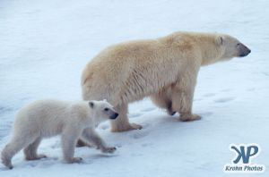 Scan-090716-0001.jpg - Polar Bears