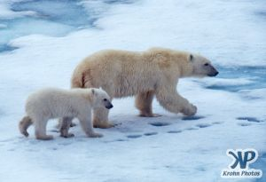 Scan-090716-0003.jpg - Polar Bears