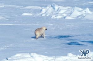 Scan-090716-0005.jpg - Polar Bear