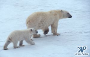 Scan-090828-0008.jpg - Polar Bears