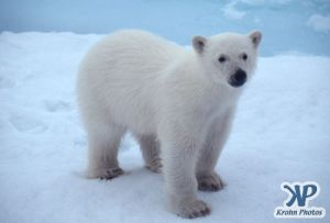 Scan-090828-0009.jpg - Polar Bear cub