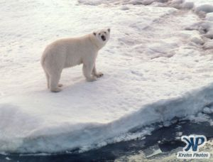 Scan-090828-0011.jpg - Large Polar Bear