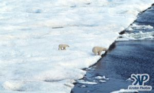 Scan-090829-0003.jpg - Polar Bears