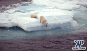 Scan-090829-0005.jpg - Polar Bears