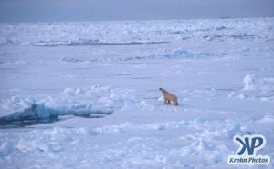 Scan-090829-0006.jpg - Lone Polar Bear