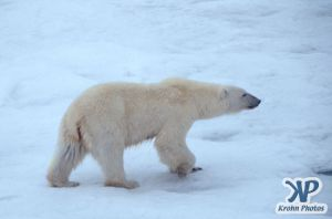 Scan-090829-0012.jpg - Polar Bear