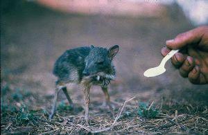 cd111-nm13.jpg - Baby Pygmy Deer