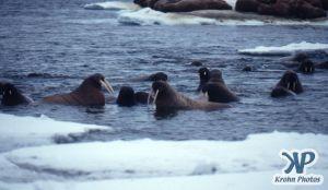 dvd1002-s02.jpg - Group of Walruses