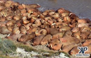 dvd1002-s03.jpg - Large group of Walruses