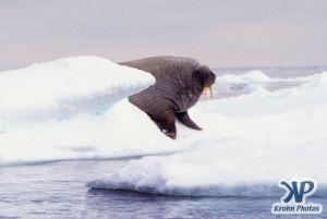 dvd1002-s05.jpg - Walrus