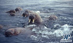 dvd1002-s08.jpg - Group of Walruses