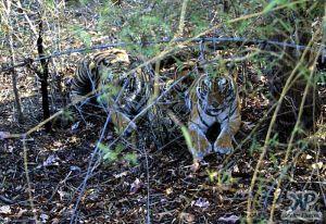 cd1010-s04.jpg - Tigers