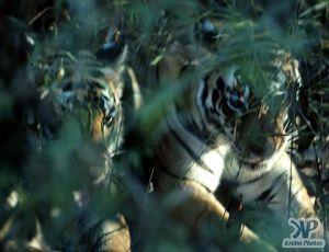cd1010-s14.jpg - Tigers