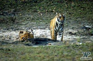 cd1010-s17.jpg - Tigers