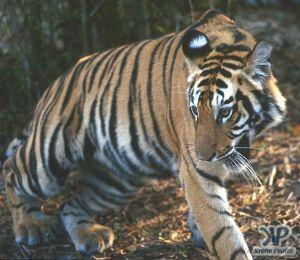 cd1010-s24.jpg - Tiger