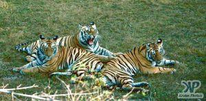 cd1010-s26.jpg - Tigers