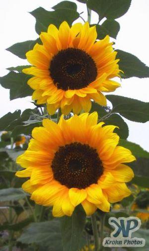 cd16-d04.jpg - Sunflower
