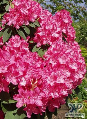 cd16-d22.jpg - Rhododendrons