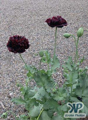 cd17-d08.jpg - Poppies