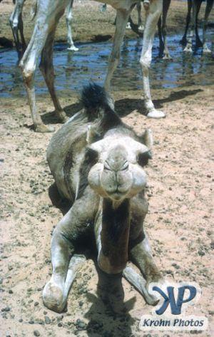 dvd1000-s106.jpg - Camel