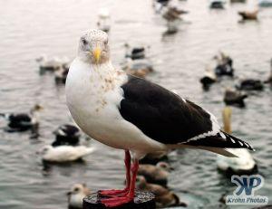 cd1013-d15.jpg - Seagull