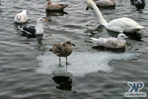 cd1013-d16.jpg - A Gull