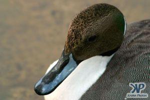 cd1013-d20.jpg - A duck