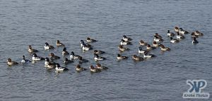 cd16-d07.jpg - Flock of ducks
